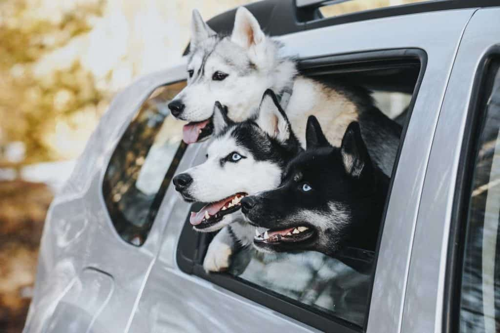 Three dogs in a car. Now the owner is wondering how to get the dog smell out of the car